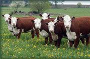 Племенной скот и скот на убой