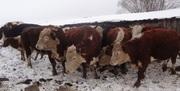 Быки, коровы, молодняк, бараны, лошади живым весом