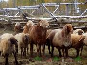 Бараны,  овцы на Курбан Айт в Костанай.