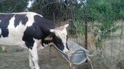 продам крупно-рогатый скот