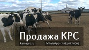 Продажа племенных нетелей молочного направления